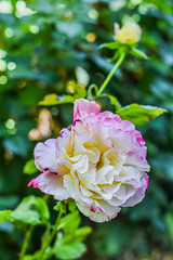spring stages (pbo31) Tags: california flower color macro green nature rose yard garden season spring flora nikon earth may bloom eastbay livermore pleasanton alamedacounty blooming 2016 boury pbo31 d810