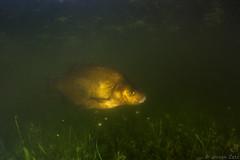 Brasem - Maas (Jeroen Zetz) Tags: fish water rain canon flood tokina maas vis 60d