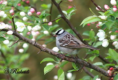 *** White-Crowned Sparrow /bruant a couronne blanche (ricketdi) Tags: white bird ngc npc whitecrownedsparrow bruant cantley coth bruantacouronneblanche coth5 sunrays5