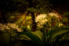 Morning Glow (Graham'M) Tags: morning flower nature flora glow wildflower