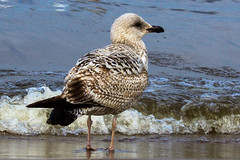 Mwe auf Usedom (kathinka68) Tags: meer mwe ostsee vogel usedom