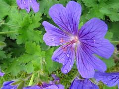 Hardy geranium (Pat's_photos) Tags: plant flower hardygeranium
