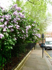 P1130631  Cadogan Place in Bloom (londonconstant) Tags: london architecture streetscapes sw1 promenades sw3 cadoganestate londonconstant costilondra