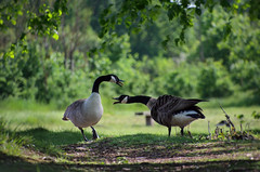 Don't give up, she'll come around #FlickrFriday (cuppyuppycake) Tags: uk england london nature up birds animals geese nikon flickr outdoor path wildlife canadian goose give dont friday honking d7200