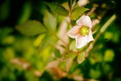 Surviving (h_cowell) Tags: flower green sunshine garden spring gardening clematis panasonic foliage 20mm gx7 nikex