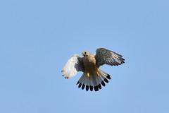 DSC_2691 (gerald2231) Tags: bird falke greifvogel turmfalke
