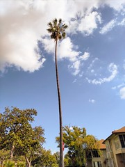 Lonely palm (Thad Zajdowicz) Tags: cameraphone california sky plant tree nature mobile clouds outside daylight flora outdoor availablelight cellphone palm turbo smartphone motorola tall 365 pasadena android droid 366 photoshopexpress zajdowicz