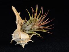 "Tillandsia ionantha ""Rubra"" mounted on a seashell (George Fournaris) Tags: mounted tillandsia seashell"