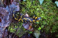 Feuersalamander (Aah-Yeah) Tags: bayern salamander bach salamandra achental weibchen larve chiemgau caudata feuersalamander schwanzlurche schwanzlurch ovoviviparie