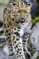 Young leopardess walking on the stone II (Tambako the Jaguar) Tags: walking stone portrait approaching cute paw amur female young leopardess fluffy leopard big wild cat mulhouse zoo france alsace nikon d4