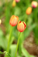 IMG_6671 (Karthik Sundaresan) Tags: tulipbulbs flower orange color lights fireworks bright skylontower canada