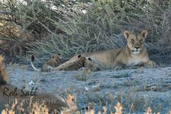 Pride of Lions near Okandeka Waterhole (robsall) Tags: africa vacation cat canon mammal big feline lion bigcat lions endangered predator namibia canoneos lioness teleconverter bigcats carnivore vulnerable 2015 pantheraleo 14xtc oshana largefelines 7dmarkii canon7d2 canon7dmarkii canon7dmark2 canon500mmf414x robsallphotography 7dm2 7dmark2 7dmii canoneos7dmark2 canon7dm2 canoneos7dm2 14xiiitc 50014x canon500mmf4lisiiusm14xiii canon500mmf4ii14xiii