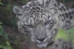 Snow Leopard (kylennadine) Tags: africa cats snow nature saint animal animals cat zoo louis big feline wildlife leopard photograph felines zoos leopards