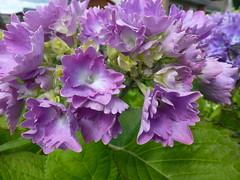 Purple Hydrangea Flower ! (Mara 1) Tags: summer2016 purple hydrangea petals cluster head bloom