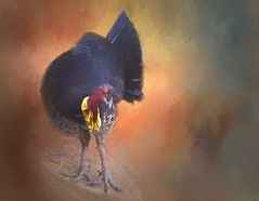 Talking to me?  ** Explored ** (boeckli) Tags: brushturkey birds textures texturen jaijohnson dailytexture ti2 topaz topazimpression2 animal vgel tier outdoor painterly netartii untouchabledream