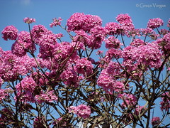 ip rosa ( Graa Vargas ) Tags: ip pink sky tree flower graavargas brasilia brasil tabebuia tabebuiaheptaphylla floweringtree 2016graavargasallrightsreserved 20007290816