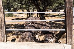 Granja Aventura y Alquzar (13) (Fernando Soguero) Tags: avestruz ostrych granjaaventura barbastro somontano huesca animales animals
