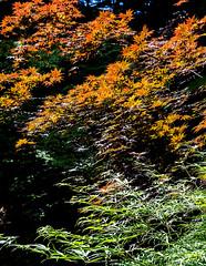 Japanese maples (billd_48) Tags: trees ohio summer leaves garden japanesemaple