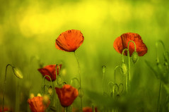 """...In the sunlight that's where I'll be..."" by Celeste Prince (eggii) Tags: poppies poppy red green park mood sunny day"