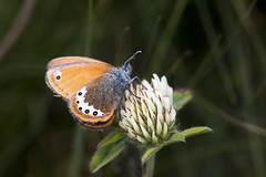 Coenonympha gardetta #2 (Marco Ottaviani in the mountains with little acces) Tags: natura nature insetti insects insecta farfalla butterfly nymphalidae coenonympha cgardetta alpi alps montagna mountain fiore flower trifoglio trifoliumsp clover canon marcoottaviani