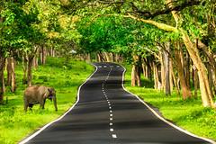 Wild Elephant (Freddy Victor) Tags: wildelephant elephant grass trees bandipur tigerreserve road sunnyday green karnataka lonelyelephant wildlifesnactuary wildlife wildlifephotography wilderness