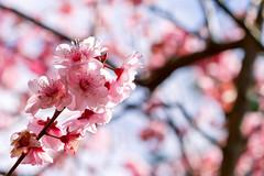 blossom (cheezepleaze) Tags: blossom pink spring flower cliche newlife hcs
