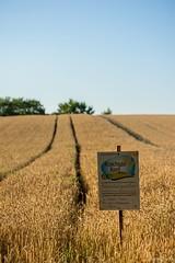 DSC_1184 (Marlon Fried) Tags: getreide cereals weizen wheat landschaft landscape field crops grain