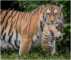 Dasha with cub (gosammy1971) Tags: elroi dasha tiger sibirischer amurtiger raubtier predator cat wildcat natur nature animal tier fell fur orange white balck weiss schwarz new flickr august 2016 hellabrunn munich mnchen duisburg odense kitten welpje cub welpe kleintje fantasticnature wildcatworld worldofanimals