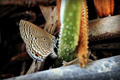 Cycad Blue - female ovipositing (tinlight7) Tags: cycadblue cycadcupid plainsblue dubai uae butterfly taxonomy:kingdom=animalia animalia taxonomy:phylum=arthropoda arthropoda taxonomy:subphylum=hexapoda hexapoda taxonomy:class=insecta insecta taxonomy:subclass=pterygota pterygota taxonomy:order=lepidoptera lepidoptera taxonomy:superfamily=papilionoidea papilionoidea taxonomy:family=lycaenidae lycaenidae taxonomy:genus=chilades chilades taxonomy:species=pandava taxonomy:binomial=chiladespandava chiladespandava plainscupid  taxonomy:common=plainscupid taxonomy:common=