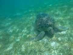 Rieschildkröte auf den Malediven