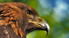 In the Eye of the Eagle (neya25) Tags: eagle steinadler adler olympusomdem10 mzuiko75300mm bokeh focus