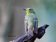 จับแมลงหลังเขียว Green-Backed Flycatcher