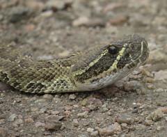 Prairie Rattlesnake (Bug Eric) Tags: usa nature animals outdoors colorado wildlife northamerica rockymountains frontrange snakes reptiles herps venomous herpetology rattlesnakes prairierattlesnake cheyennemountainstatepark april302015