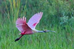 0P6A3465_PBarilari (Pablo Barilari) Tags: wild birds photography florida south great everglades egret snowyegret roseatespoonbill alligatoralley barilari parksphotography wildnatuefloridabirds