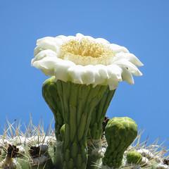 2015 05 19 Saguaro National Park 016 (GaryS42) Tags: arizona cactus flower tucson saguaro saguaronationalparkeast