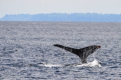 DSC_0844 (jdeckgallery) Tags: washington wa whales whalewatch 2015