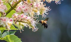 Bourdon (staubin.gabriel) Tags: fleur abeille marronnier taon