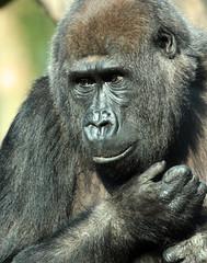 Makoua Burgerszoo JN6A6124 (j.a.kok) Tags: gorilla burgerszoo westernlowlandgorilla lowlandgorilla laaglandgorilla westelijkelaaglandgorilla