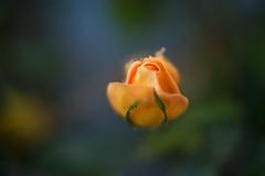 rosebud (Marti Thinkso) Tags: closeuplens minolta50mmf17af
