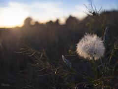 Contraluz (:) vicky) Tags: flores valencia olympus vicky airelibre visionario olympusdigitalcamera vickyepla flickrvicky