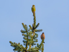 2 Finken (2 finches) (ralph_behrens) Tags: olympus omd em1 buchfink niedersachsen m43 mft grnfink
