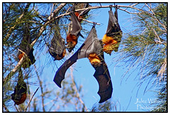 Grey Headed Flying Foxes (juliewilliams11) Tags: animal fauna wings outdoor border bat australia flyingfox photoborder