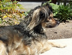 His Domain (MDawny72) Tags: dog pet chihuahua loving makesmehappy spring furry sweet may handsome mygarden furbaby myfavoritethings 2016 itsadogslife myphotography mustlovedogs pomchi chipom furtails