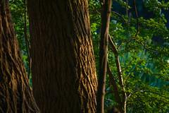 Bark illuminated (Amsterdamse Bos) (PaulHoo) Tags: light detail tree nature amsterdam forest evening spring nikon illumination illuminated bark bos amstelveen lightroom amsterdamse 2016 bovenkerk d700