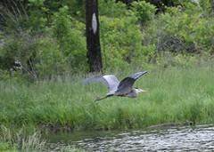 Great Blue Heron (Bill Steffen) Tags: flight busch conservationarea gbh