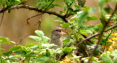 willow warbler (Sue Wolfe) Tags: flowers nature birds wales landscapes westwales wildlife cymru wildflowers ceredigion montgomeryshire meirionnydd dyfiestuary dyfi dysynni dysynnivalley welshwildlifebreaks dyfibiosphere dyfiospreyproject