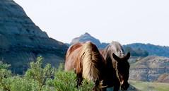 Mustangs of TRNP (prairiegirrl) Tags: northdakota wildhorses mustangs protected trnp