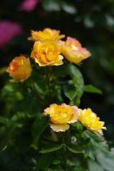 beauty yellow (rondoudou87) Tags: flower fleur zeiss rose nature pentax garden jardin bokeh zk carlzeiss planar