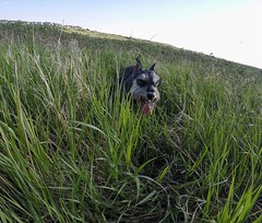 Happy TOT (Pep's Hiking Team) Tags: field grass dogs dog schnauzer traildog wildernessdogs gopro 2016