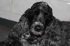 Happy Birthday Golden Moment 6 years (excellentzebu1050) Tags: dog pet animal closeup farm spaniel doggy cocker cockerspaniel animalportraits coth5 goldenmoment6years201612june